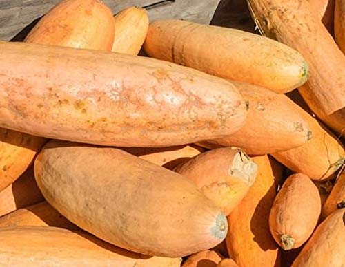 Jumbo Pink Banana Winter Squash Seeds - 50 Count Seed Pack - Non-GMO - an...