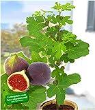 BALDUR Garten Frucht-Feige Rouge de Bordeaux groß, 1 Pflanze Ficus carica Feigenbaum winterhart