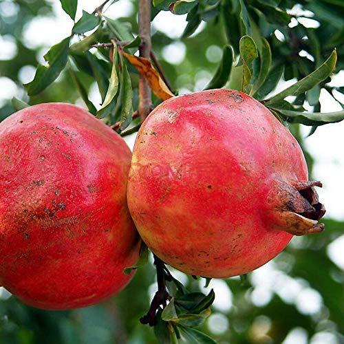 Graines d'arbres fruitiers biologiques à la grenade, 20+ Graines d'arbre de qualité supérieure, 90% de germination, Graines de Punica Granatum Red