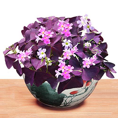 Purple Shamrock Bulbs 10+ (Oxalis Triangularis )Organic Bulbs Plants Seeds Easy to Grow for Planting Home Garden Outdoor Yard Farm