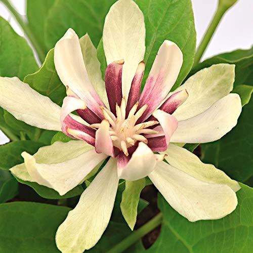 Calycanthus 'Venus' | Arbusto orientale | Fiori bianchi | Arbusto resistente | Altezza 30-50 cm | Vaso Ø 19 cm