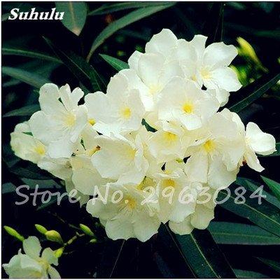 100 Pcs Nerium Oleander Flower Look Seed Tout comme les plantes Rose Fleur Bonsai jardin Arbre Quatre Saisons fleurs vivaces Easy Grow 9