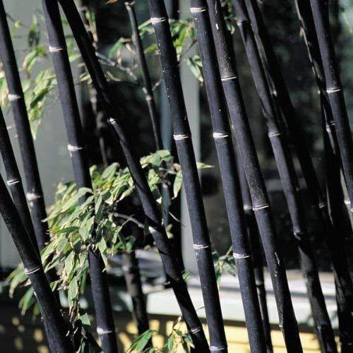 100 graines de graines fraîches bambou noir avec des instructions - Phyllostachys Nigra (Hardy)