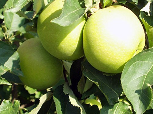 Apfel Baum 'Granny Smith' Malus domestica Topf gewachsen 150-200cm im 7,5L Topf