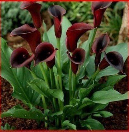 100 pcs / sac, graines Calla, graines de fleurs, variété complète, le taux de bourgeonnement 95%, (couleurs mélangées)