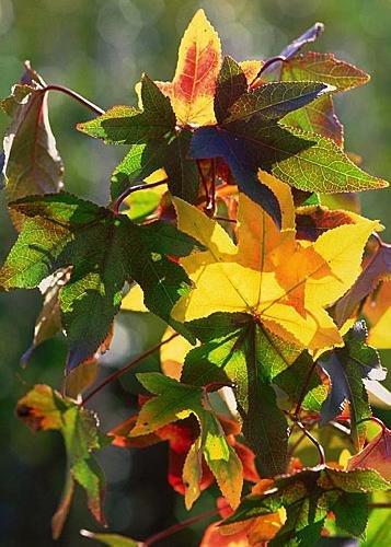 Tropica - Amerikanischer Amberbaum (Liquidamber styraciflua) - 100 Samen