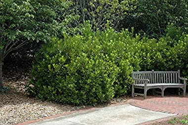 Anise Forest Green - 10 Live Plants - Illicium Parviflorum - Shade Loving Evergreen Hedge