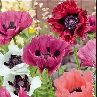 // Poppy Papaver Somniferum MIX Pavots Somnifères Mélange 0,25 gramme 500 gr