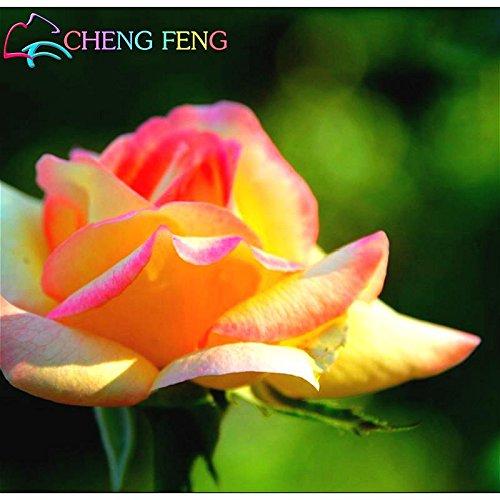 Promotions 100 Pcs / sac (mélangé couleur) Rose Graines de plantes grimpantes Graines Polyantha Rose Fleur chinoise Escalade Roses Jardin Graines