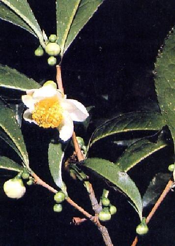 TROPICA - Echter Teestrauch (Camelia sinensis) - 10 Samen