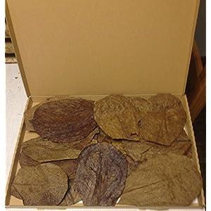 30-Stck-Seemandelbaumbltter-10-15cm-BLITZVERSAND-im-Karton-Seemandellaub-Catappa-Leaves--Original-Markenware-von-SMSF-Indonesia