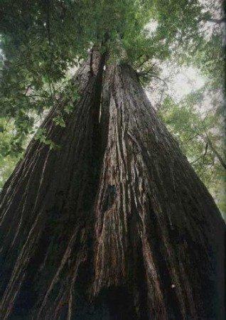 TROPICA - Séquoia à feuilles d'if (Sequoia sempervirens) - 50 graines- Résistant au froid