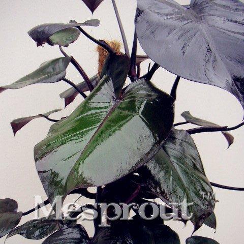 Philodendron risspilz Samen 10möglichen Mehrfarbig Plant Seeds Keimung DIY Garen mehrjährig Blooming Plant Seeds 100