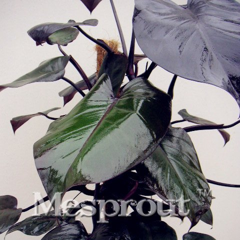 Philodendron Erubescens Samen, 10 verschiedene Farben, Pflanzensamen, hohe Keimung, DIY-Garen, mehrjährig, blühende Pflanzensamen, 100 Stück