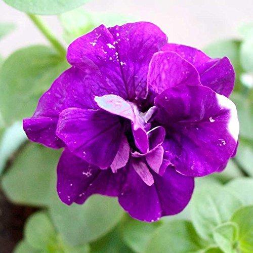 50 pièces / paquet Petunia Pétales Seeds Graines Violet Petunia Pétales Garden Home Bonsai Balcon Fleur Petunia Fleur