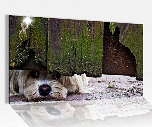 Acrylglasbild 80x50cm neugieriger Hund altes Holztor Glasbild Bilder Acrylglas Acrylglasbilder 14A3461, Acrylglas Größe4:80cmx50cm