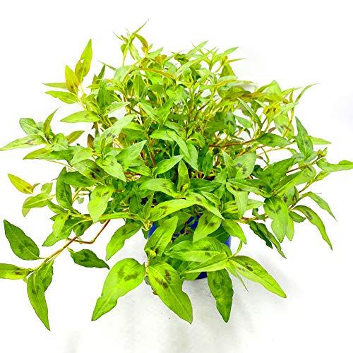 Vietnam Koriander Pflanze, POLYGONUM ODORATUM Kräuter Pflanze 1stk.