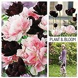 Plant & Bloom Tulpenzwiebeln aus Holland, 20 Zwiebeln - Schwarz und Pink - Einfach zu züchten - Zum Pflanzen im Herbst, zur Frühlingsblüte - Wunderschöne Kontrastblüten - Holländische Gartenqualität