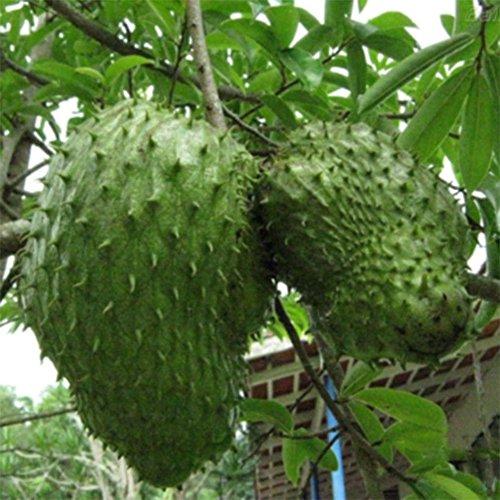 CFPacrobaticS 20 Stück Soursop Tropical Fruit Custard Apfel Graviola Annona Muricata Samen Leicht Wachsen, Home Farm Hof Pflanzen, Dekoration Garten Geschenke