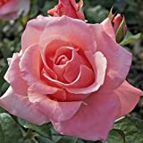 Ship Spring 2020 Rose Plant Potted, Very Fragrant Flowers, Own Root (Paris D-Yves)