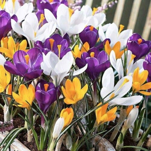 Crocus Bulbs Mixed Colours Large Flowering Bulbs Beautiful with Snowdrop 25 Bulbs