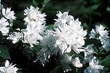Snowbelle Mockorange - Philadelphus - Low Grower - 4' Pot