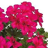 Pflanzen Kölle Geranie 'Villetta® Neon Rose', 6er-Set, hängend, pink, Topf 13cm Ø