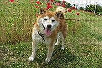 LHJOY 大人のための頭の体操パズル1000個秋田犬、犬、動物誕生日プレゼント、子供向けホリデーギフト 75x50cm
