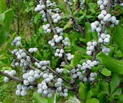 新鲜种子-北方杨梅,杨梅,灌木20种子,(耐寒芳香树篱)