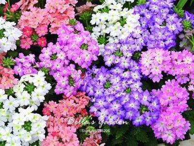 100pcs multi-couleurs Variété Verveine Graines Hardy Plantes Graines de fleurs exotiques Fleurs ornementales Bonsai Graines 07