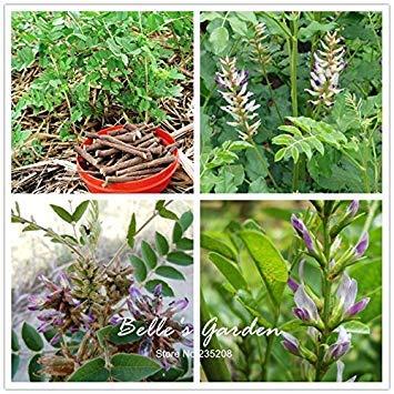 Vistaric 150 pcs Glycyrrhiza Glabra Graines Réglisse Racine Graines Fleur Bonsaï Plante DIY Médecine Chinoise Herb Maison Jardin En Pot Plante DIY