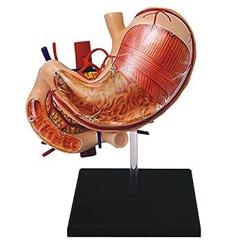 Best stomach anatomy Reviews