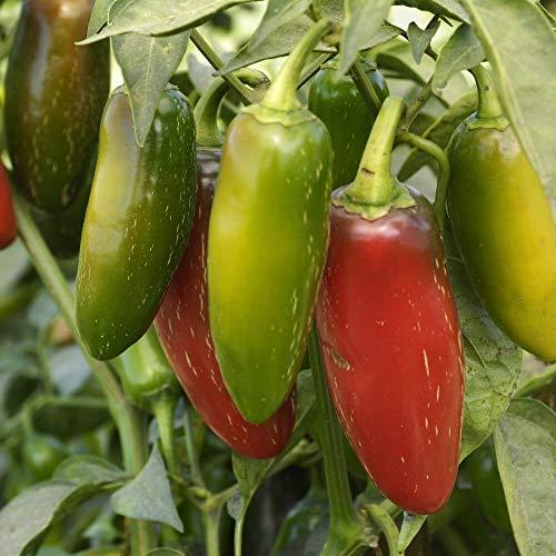 Samen für ca. 15 Pflanzen Jalapeno M Chili - bekannte und beliebte Sorte