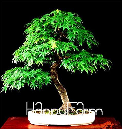 Red Maple Bonsaï Graines bon marché japonais, mini Graines de bonsaï, 50 Seeds 11 types mélangés, Très bel arbre intérieur, # BR3KL