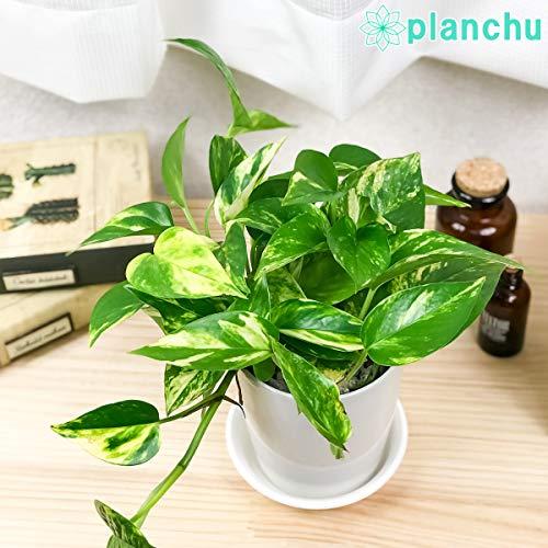 観葉植物 ポトス ゴールデン 4号鉢 受け皿付き Epipremnum pinnatum 'Aureum' エピプレムナム