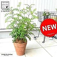 LAND PLANTS 観葉植物 シマトネリコ (茶色)モスポット トール ラウンド型 テラコッタ 素焼