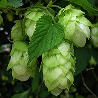New 120pcs Rare Humulus Lupulus Seeds Hops Flower Home Garden Beer Plant Seed Decor