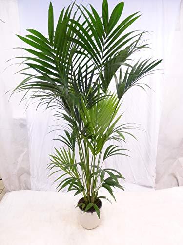 [Palmenlager] - Howea forsteriana - Kentia Palme - 200/220 cm - 6 Stämme // Zimmerpflanze