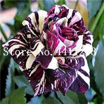 Kalash New 50pcs Rose Blumensamen für Garten Mixed