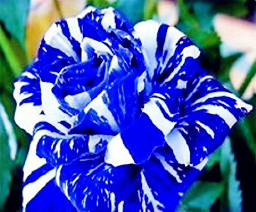 Xuanqin Graine de Rose Rosier Bleu Rayure Blanche Bleu Dragon Lot de 50 graines