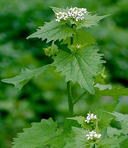 Knoblauchsrauke - Alliaria petiolata - 50 Samen