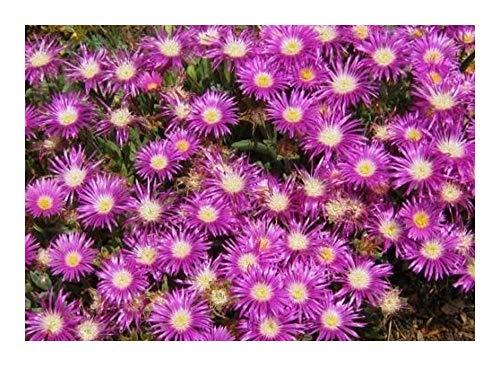 Delosperma ashtonii - Mittagsblumen - Mesembs - absolut winterhart - 10 Samen