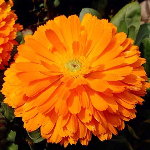 120 Teile/paket Orange Zinnia Samen Balkon Hof Durch Blumen Topf Bonsai Zinnia Elegans Samen Pflanze Blumensamen