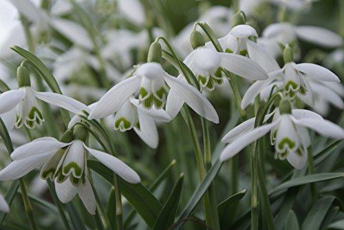 20 Schneeglöckchen Knollen Galanthus Elwesii
