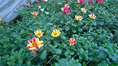 Portulaca semences, Pourpier Moss-rose Plantes d'intérieur Fleurs doubles semences Balcon et cour Bonsai Seed Le taux bourgeonnant 95% 120 Pc