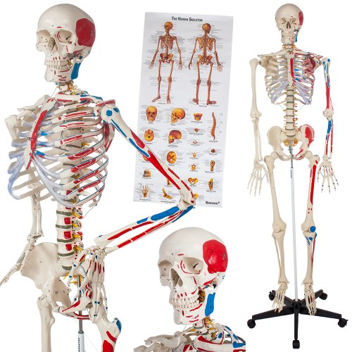 TecTake Modelo médico anatómica Esqueleto Humano esquelético | Varios Modelos (Esqueleto con músculos + numeración | No. 400963-5)