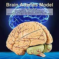 ベース付き医療専門家のための8部品分解脳モデル人間の脳モデル