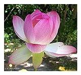 Nelumbo nucifera - loto sagrado o loto indio - 5 semillas