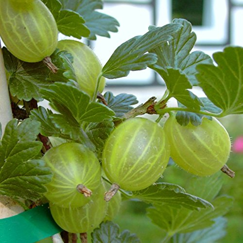 Müllers Grüner Garten Shop Mucurines grüne Stachelbeere sehr süß geringe Säure Busch ca. 30-50 cm im 3 Liter Topf