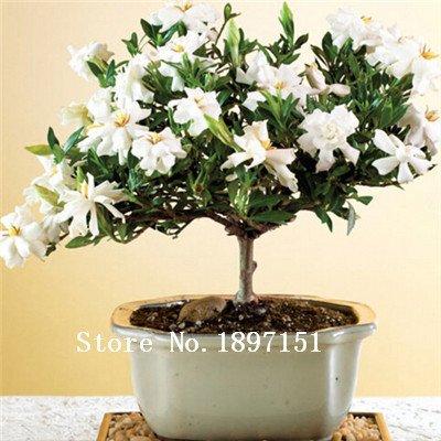 Großer Verkauf 200 Gardenia Seeds (Cape Jasmin) -DIY Hausgarten-Topf Bonsai, erstaunliche Geruch und schöne Blumen,